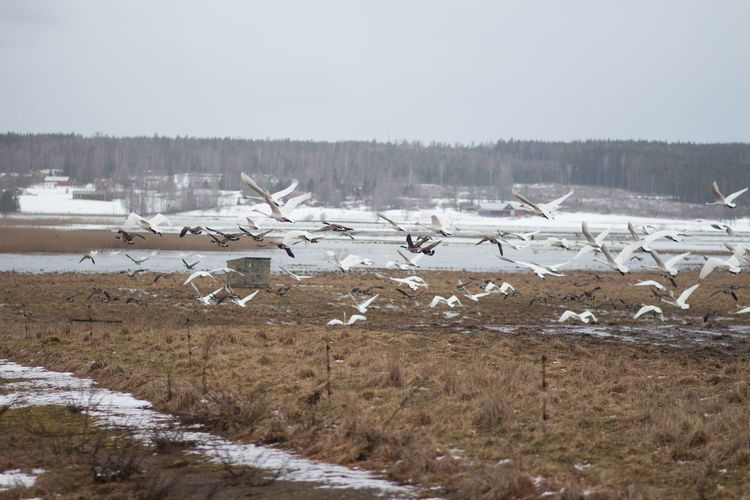Winter Cold Temperature Snow Large Group Of Animals Bird Animals In The Wild Group Of Animals Vertebrate Nature Scenics - Nature Beauty In Nature Day Animal Wildlife Flying Animal Themes Tranquil Scene Non-urban Scene No People Environment Flock Of Birds Ice Outdoors Flying Swans Swans Tysslingen