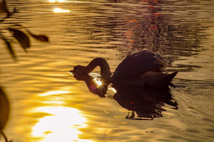 Reflection of swan swimming in lake during sunset