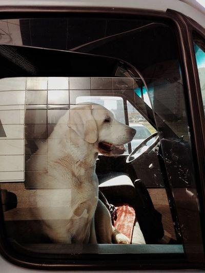 Phone Photography Dog Love Dog Car Dog In A Car Passenger Labrador Drivers Seat Streetphotography Street Photography