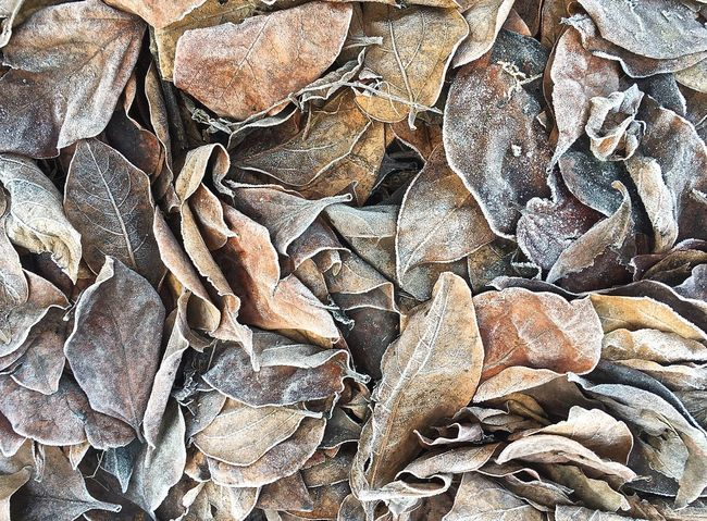 Abundance Backgrounds Brown Close-up Day Dried Fruit Dry Leaves Fall Colors Freshness Frost Frosty Days Frosty Mornings Full Frame Ice Large Group Of Objects Nature No People Outdoors Variation Winter Leaves