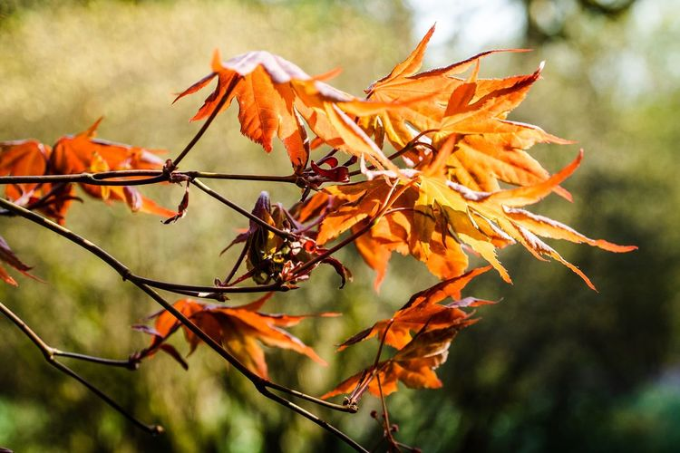Autumn Plant Plant Part Change Orange Color Leaf Close-up Nature Day Focus On Foreground Beauty In Nature Growth Leaves No People Tree
