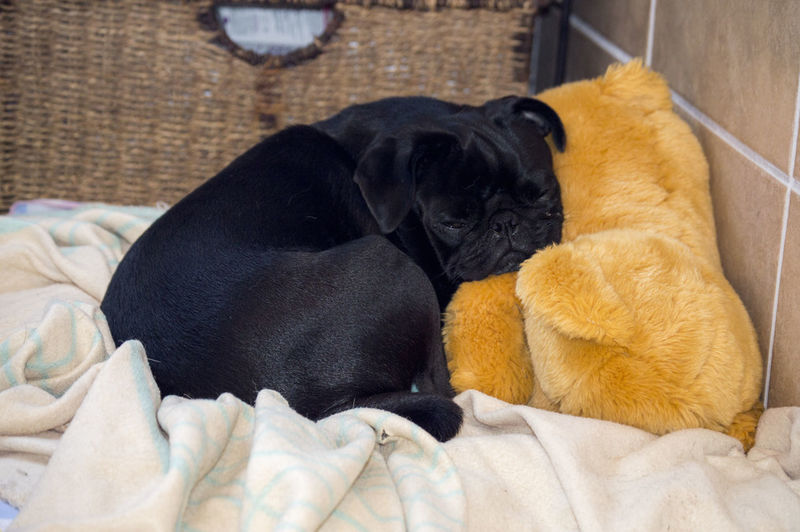 Black Pug Sleeping With Teddy Bear On Bed At Home