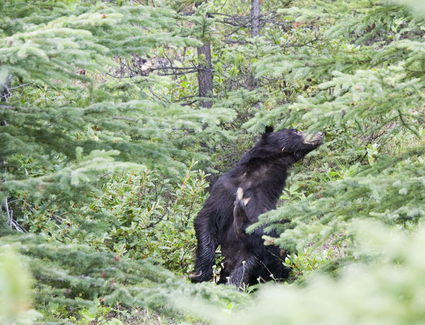 black bear scratching - ursus americanus in banff national park, canadian rockies Animal Wildlife Animals In The Wild Banff National Park  Bear Beauty In Nature Black Bear Black Color Canada Close-up Coniferous Tree Endangered Species Forest Male Mammal Nature No People One Animal Outdoors Scratching Sitting Ursus Ursus Americanus Wild Wildlife Woods