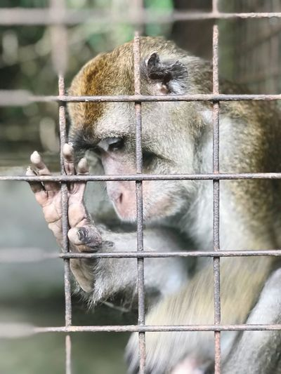 Sad monkey in a cage Sad Monkey Philippines Philippine Monkey Animal Themes Mammal Animal One Animal Monkey Vertebrate Primate Cage Animal Wildlife Animals In Captivity Focus On Foreground No People Animals In The Wild Zoo First Eyeem Photo