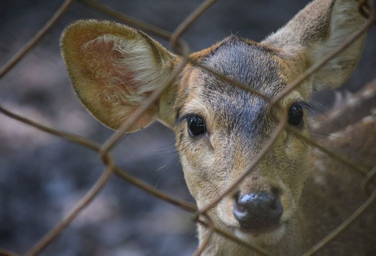 close up eyes of deer Close-up Deer Cute Fence View Natural Beautiful Copy Space Outdoors One Animal Wildlife Animal Portrait UnderSea Close-up Animal Eye Animal Ear Eye HEAD Eye Color