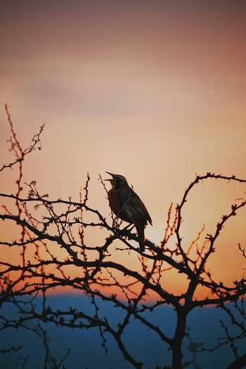 Animal Animal Themes Animal Wildlife Animals In The Wild Bare Tree Beauty In Nature Bird Branch Low Angle View Nature No People One Animal Outdoors Perching Plant Silhouette Sky Sunset Tree Vertebrate