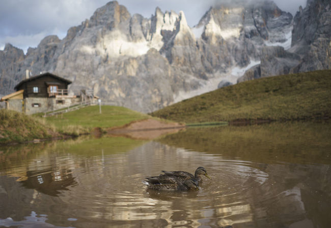 Animal Themes Animals In The Wild Architecture Baita Segantini Bird Built Structure Duck Ducks Italy Lake Mountain Mountain Range Nature No People Pale Di San Martino Physical Geography Reflection Trentino Alto Adige Water Water Bird Waterfront Wildlife