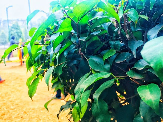 Leaf Green Color Growth Plant Nature Day Outdoors Close-up No People Freshness Beauty In Nature Tree