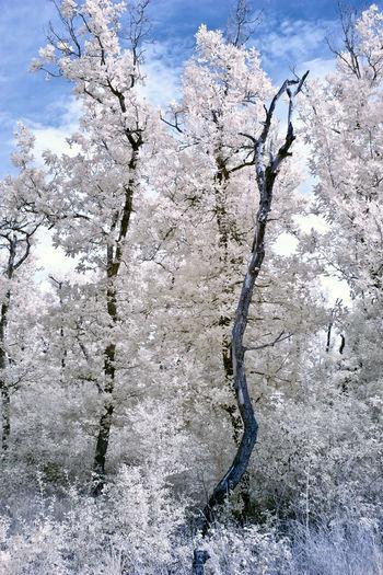 Frozen bare tree against sky
