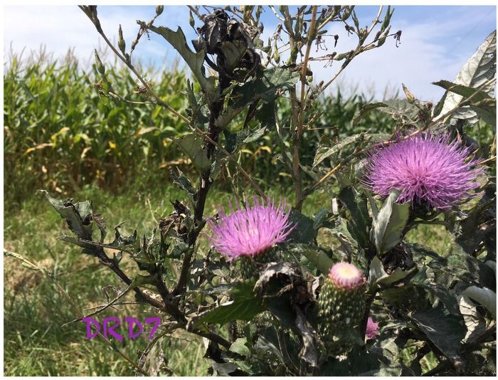 Country side Beauty In Nature No People Purple Thistle