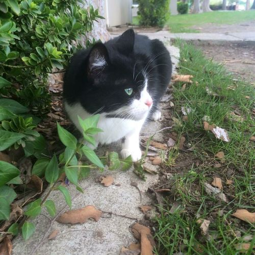 Took this picture of my cat in 2016 around may Domestic Cat Pets Plant One Animal Tuxedo Cat Outdoors Animal Photography No People Nature Leaf Cat Domestic Animals Animal Themes Outside Photography Outside L No Filter No Edit Welcome To Black The Great Outdoors - 2017 EyeEm Awards Pet Portraits