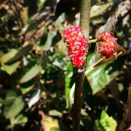 Raspberry Fruitilucious