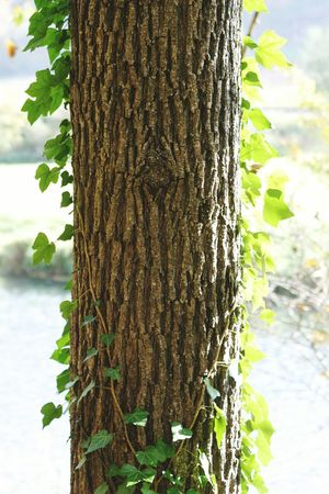Tree Nature Photography Wood Ivy Bark Textured  Green