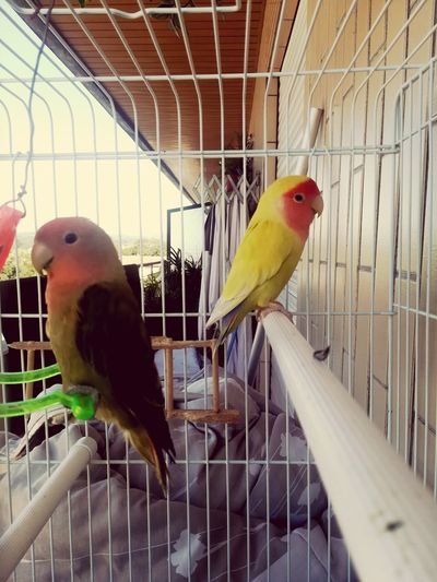 Pet Portraits My Thai And Lhay Agaporni Bird Birdcage Pets Domestic Animals The Week On EyeEm