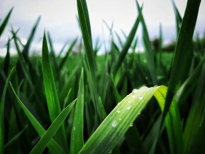 Mais Corn Field Wheat Food And Drink Food And Drink Industry Food Cereal Plant Leaf Agriculture Rural Scene Field Close-up Grass Plant Green Color Sky Farmland Plantation Rice Paddy Agricultural Field Terraced Field Satoyama - Scenery Rice - Cereal Plant Tea Crop Farm Cultivated Land Ear Of Wheat Hay Bale Stalk Crop