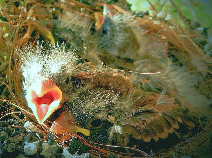 baby house finches in nest Fragility Beauty In Nature Bird Nest Bird Nests Beginnings Morning Close-up Nature House Finches Morning Light