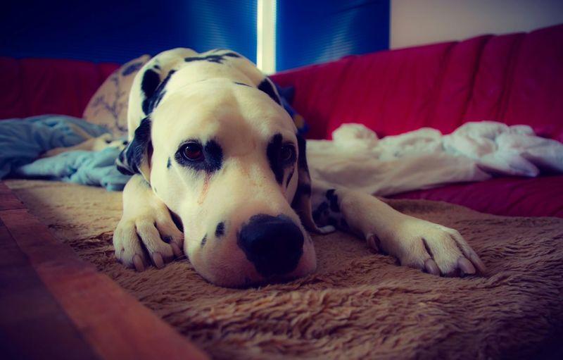 Dog Dogs Dalmatian EyeEm Best Shots Taking Pictures Taking Photos This Week On Eyeem Sleeping Dog Dalmation Dalmations