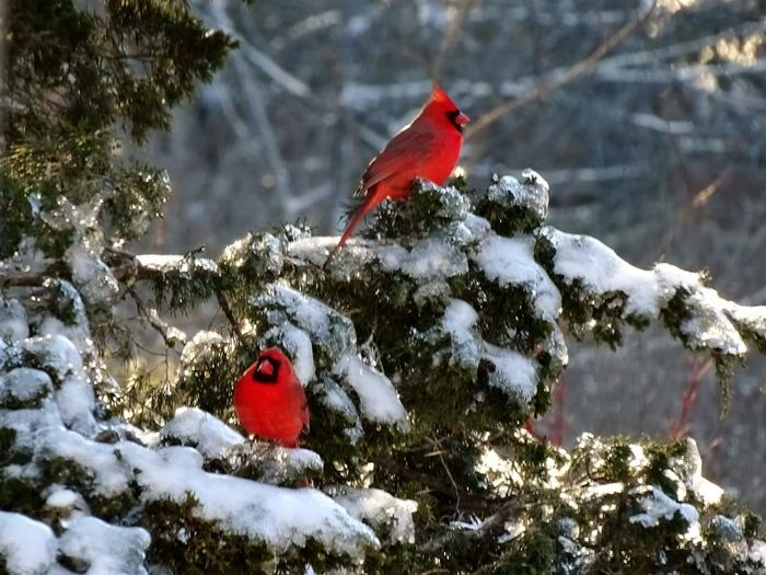cardinals ♡♡♡ Cardinalinatree Shades Of Winter Mission New Hampshire, USA New Hampshire Winter Shades Of Winter AFTER THE SNOW Shades Of Color Beauty❤ One Animal christmas tree Outdoors Animal Themes No People Snowing Perching Nature