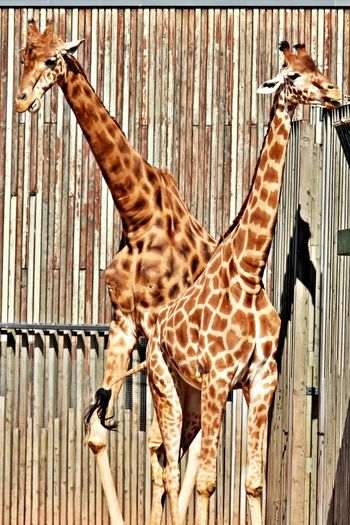 Animal Animal Themes Giraffe Mammal No People Zoo Natural Pattern Safari Animal Neck Animal Head  Togetherness