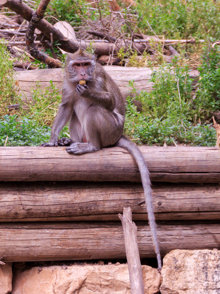 macaca fascicularis sitting on a log in the grass Green Animal Animal Themes Ape Beam Block Fascicularis Grass Herb Israel Log Macaca Mammal Monkey Nature Nature No People Sitting Stockholm Timber Tree Wildlife Wood Wood - Material Zoo