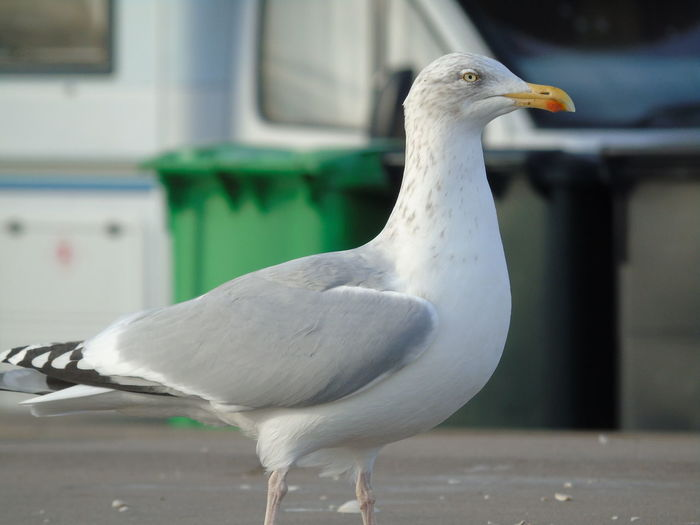 Gull Animal Themes Animal Wildlife Animals In The Wild Beak Bird Close-up Day Nature No People One Animal Outdoors Perching