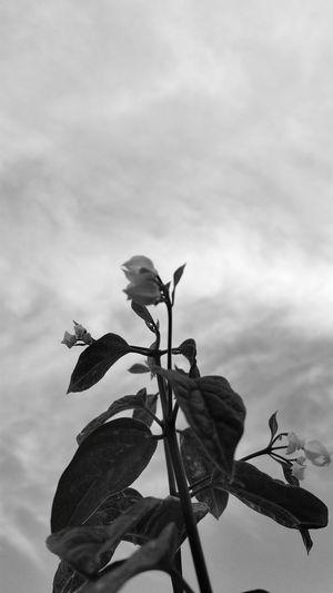 Dans mon jardin. Flowers Fleurs Flores Nature Black And White