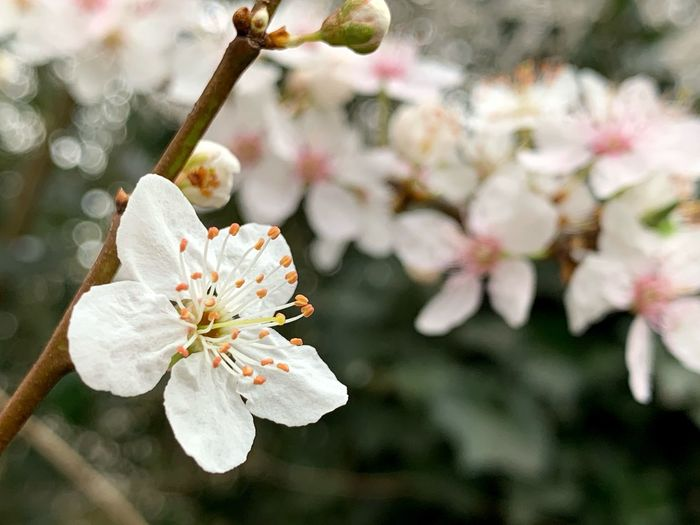 Flower Plant Flowering Plant Beauty In Nature Growth Vulnerability  Fragility Freshness Petal Flower Head Close-up Focus On Foreground Pollen Inflorescence Springtime Blossom Tree Nature No People Twig Cherry Blossom Outdoors Cherry Tree Plum Blossom Spring