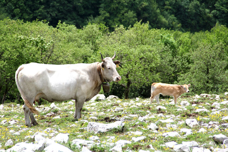 Alberi Cows!!! Lope Male Montagne Mountain Mucche Trees Verde Two Is Better Than One