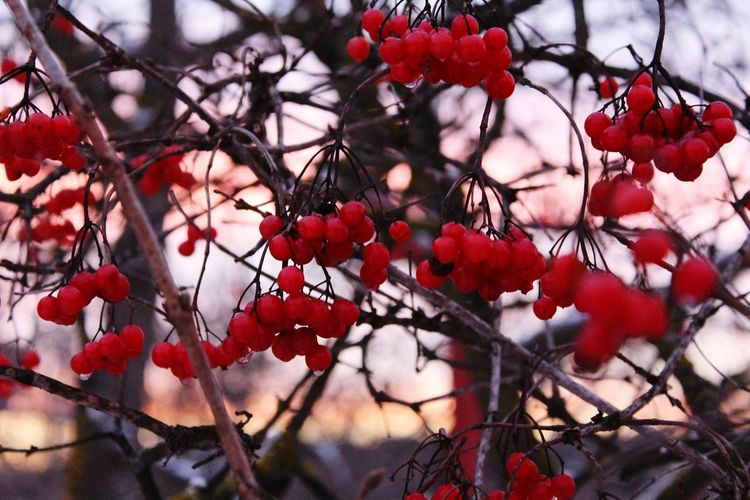 Red Nature Tree Outdoors Plant Beauty In Nature No People Close-up Branch Day Freshness
