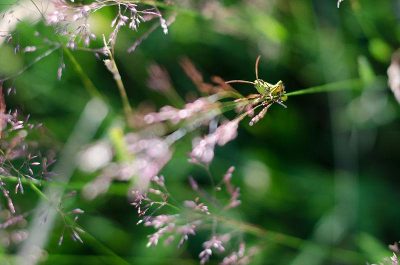 Grass Grasshopper Green Insect Nature Plant Romania Romanian  Small