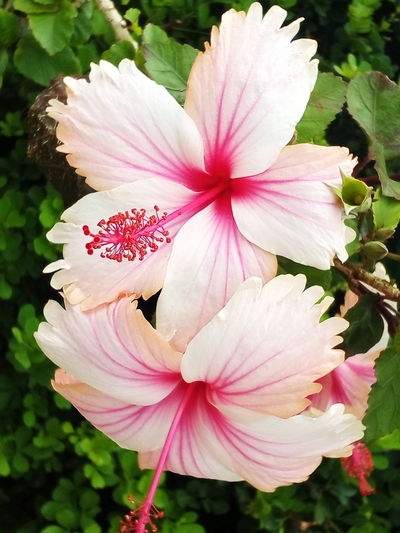 Pink And White Hibiscus Flower Pink Color Petal Flower Head Fragility Nature Beauty In Nature