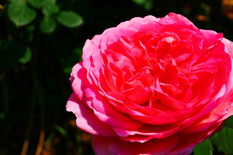 pink rose Road