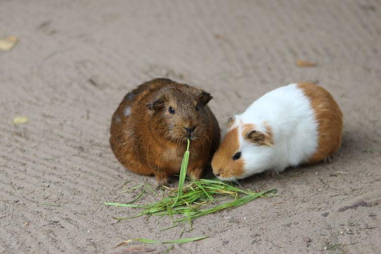 Guinea pig in a field