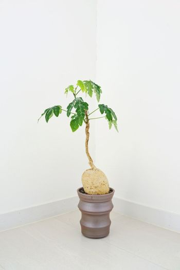 Plant Growth Indoors  Nature Leaf Plant Part No People White Background Green Color Beauty In Nature Bonsai Tree Wall - Building Feature Copy Space Close-up Tree Studio Shot Potted Plant Freshness Table Small