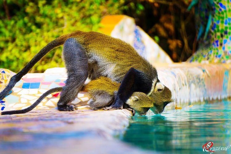 issa monkey biz... Monkey Primate Drink Wildlife EyeEm Selects Animal Wildlife Animals In The Wild Animal Themes Mammal Water Nature Outdoors