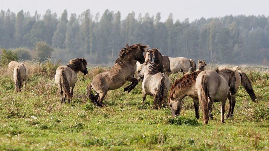 Konik Horses On Field