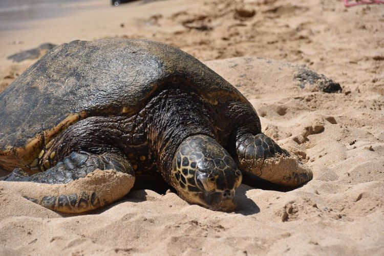 Turtle Turtle Love Animal Photography Animals In The Wild Hawaii Laniakea