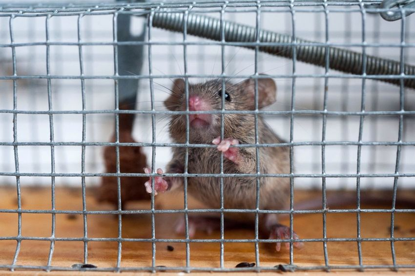 House mouse in a live catch trap. Animals Mouse Series
