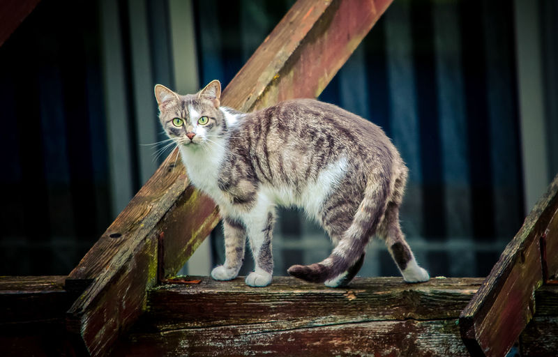 Portrait of cat standing on wooden railing