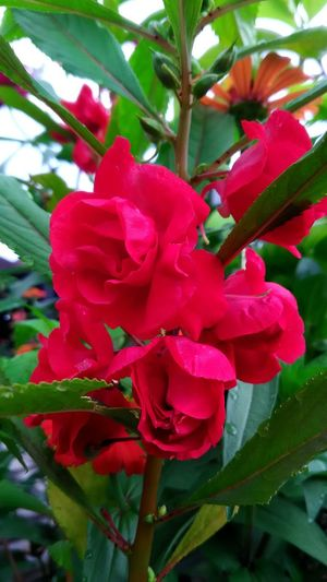 Rose Balsam Rose Balsam Photography Extreme Close-up Blossom Vertical Red Flower Red Flower Red Growth Nature Beauty In Nature Petal Plant Day Flower Head Leaf Close-up Fragility Outdoors No People