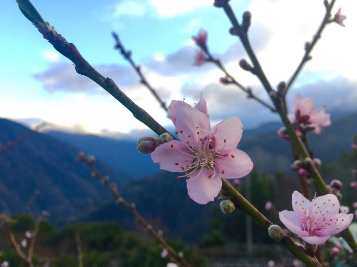 Peach flowers 💕💕 Flower Nature Growth Fragility Beauty In Nature Freshness Close-up Petal Flower Head Pink Color Tree Focus On Foreground No People Outdoors Twig Blossom Blooming Day Sky Branch First Eyeem Photo Mountain Winter Taking Photos Beauty In Nature EyeEmNewHere EyeEmNewHere Millennial Pink The Photojournalist - 2017 EyeEm Awards