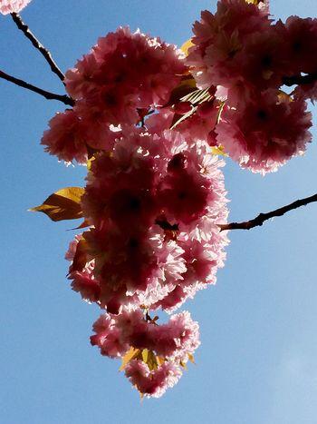 桜 First days of Spring Kirschblüten  Cherry Blossoms Sakura Tadaa Community Tadaa IPhoneography A great weekend to all of you, my friends!