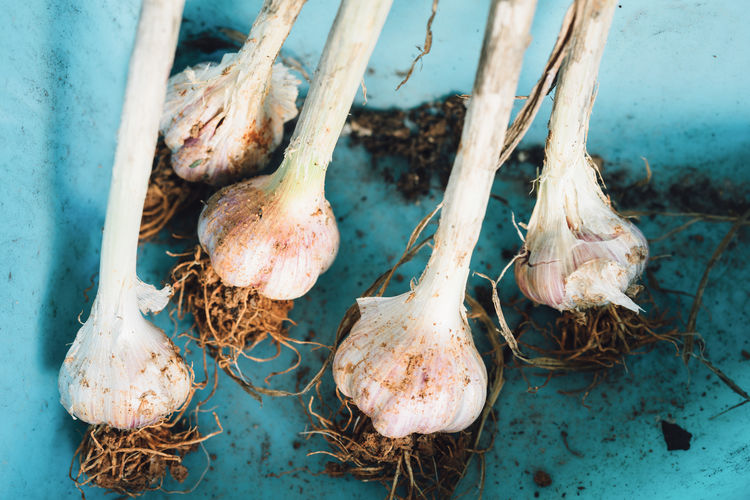 Container Garlic Close-up Day Food Freshness Garlic Bulb Group Of Objects Healthy Eating High Angle View Raw Food Root Vegetable Soil Still Life Vegetable