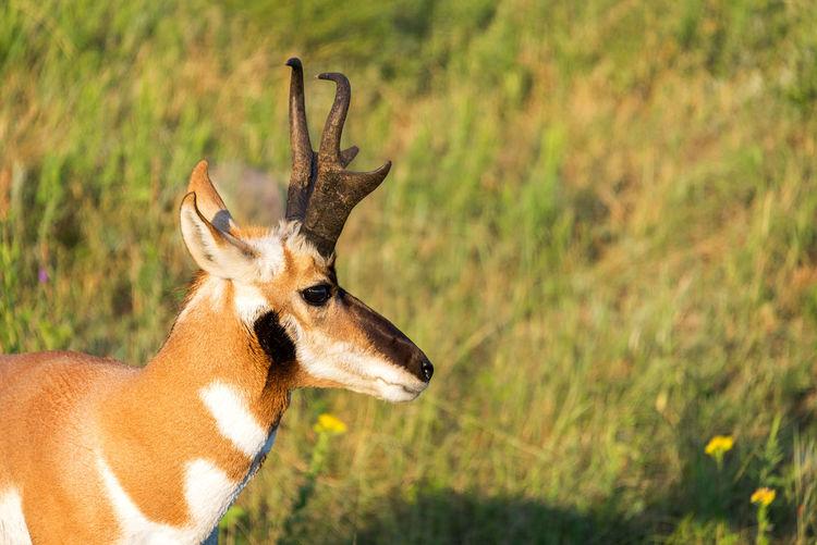 Close-up of pronghorn antelope