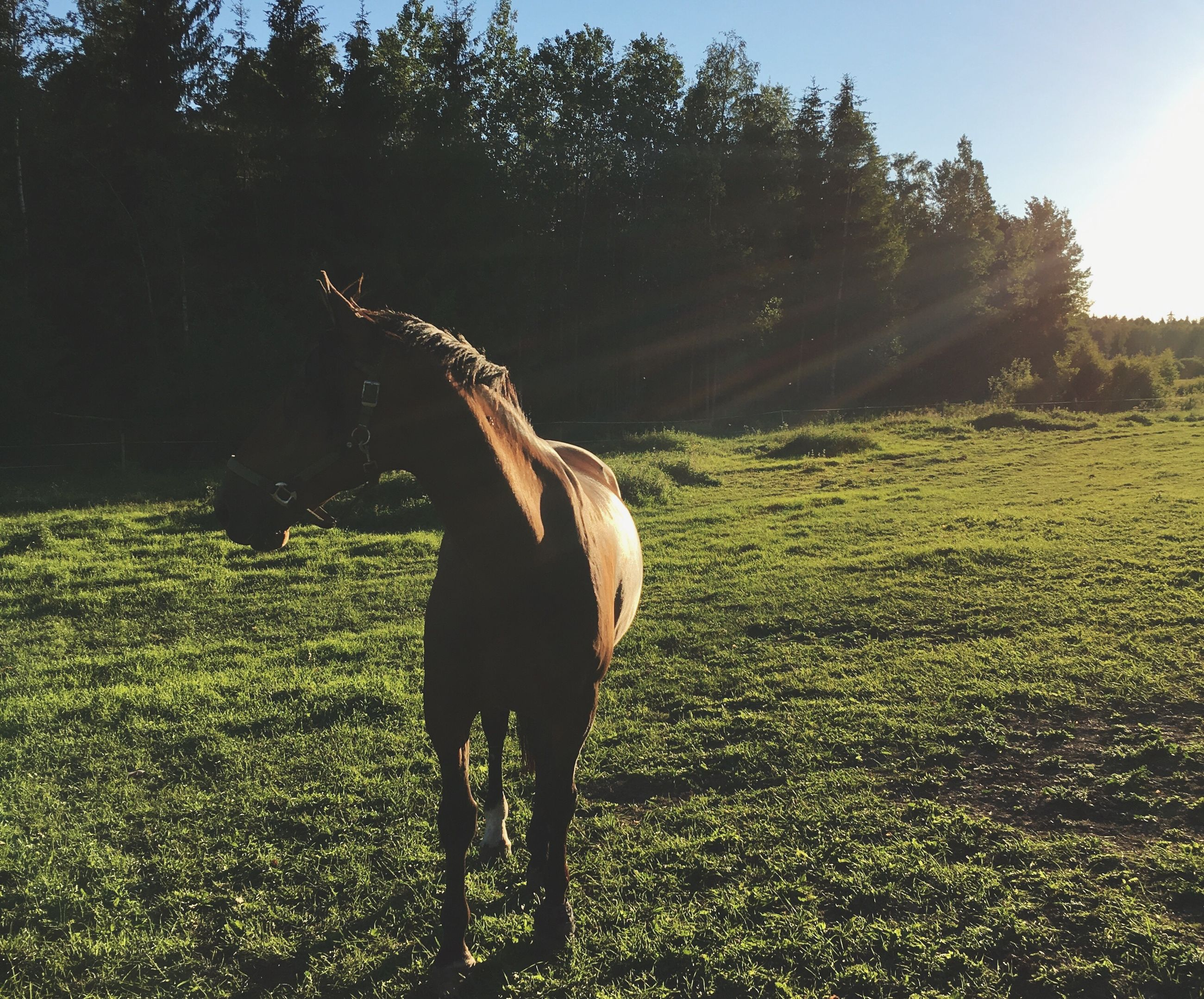horse, domestic animals, field, animal themes, mammal, one animal, grass, tree, livestock, standing, nature, no people, outdoors, full length, grazing, day, landscape, beauty in nature, sky