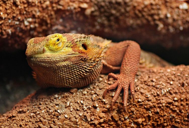 Red Iguana Animal Themes Bearded Dragon Close-up Lizard Nature One Animal Red Iguana Reptile