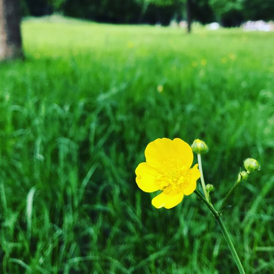 Flower Yellow Growth Nature Petal Beauty In Nature Fragility Freshness Field Flower Head Plant Green Color Blooming Outdoors No People Focus On Foreground Grass Day Close-up Springtime 30dayswild