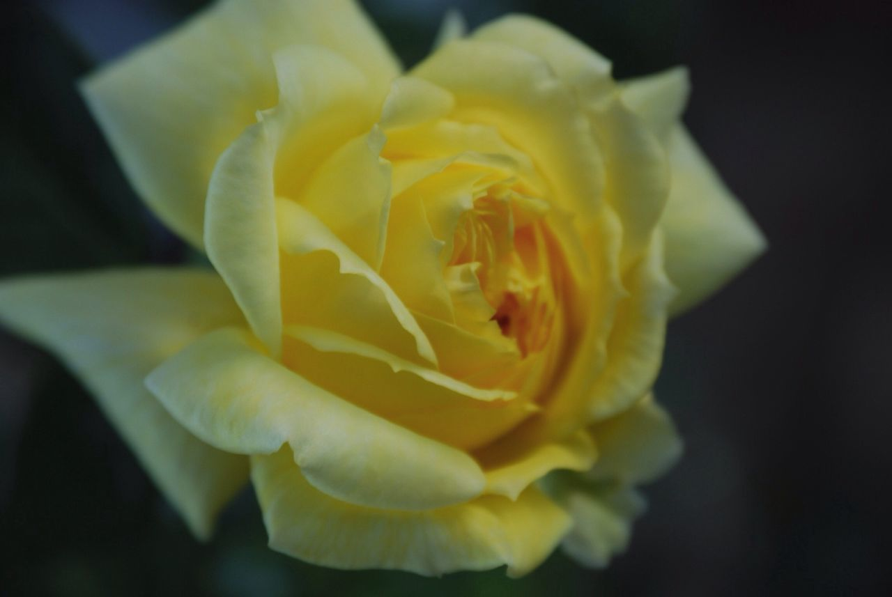 Close-Up View Of Yellow Rose