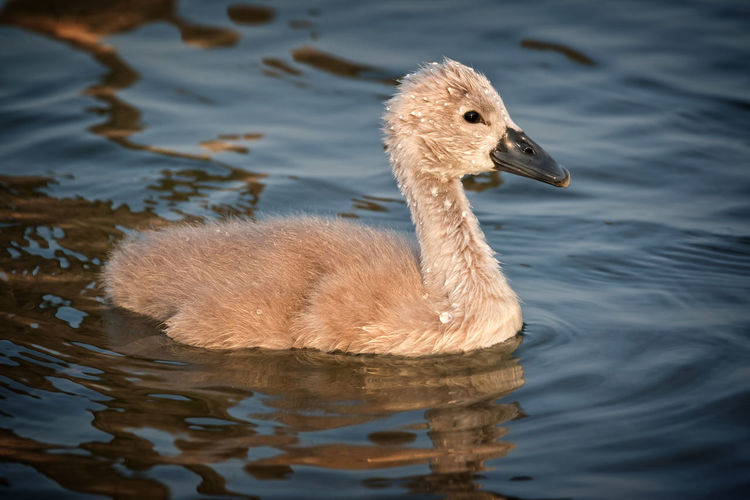 Animal Animal Themes Animal Wildlife Animals In The Wild Baby Bird Close-up Day Gosling Lake Lake View Mute Swan Nature Nature Nature_collection No People One Animal Outdoors Spring Springtime Swan Swimming Water Water Bird Young