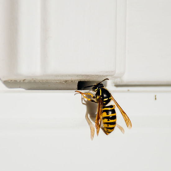 Wasp Insect One